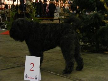 Gabin Bruxelles Dog Show